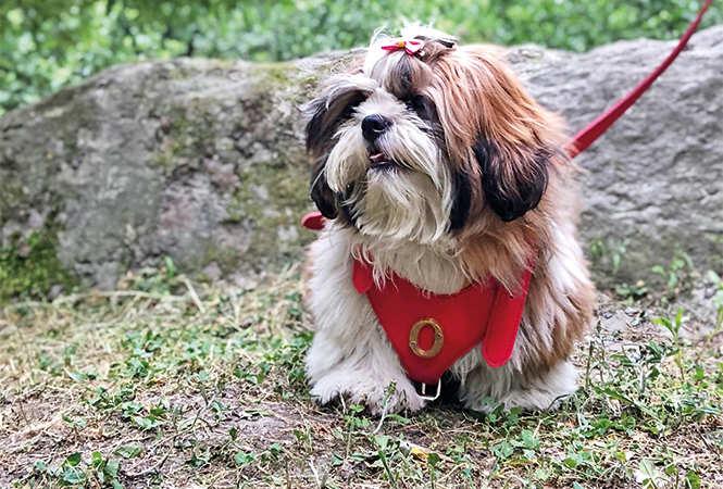 Shih Tzu Dog Haircuts Styles
