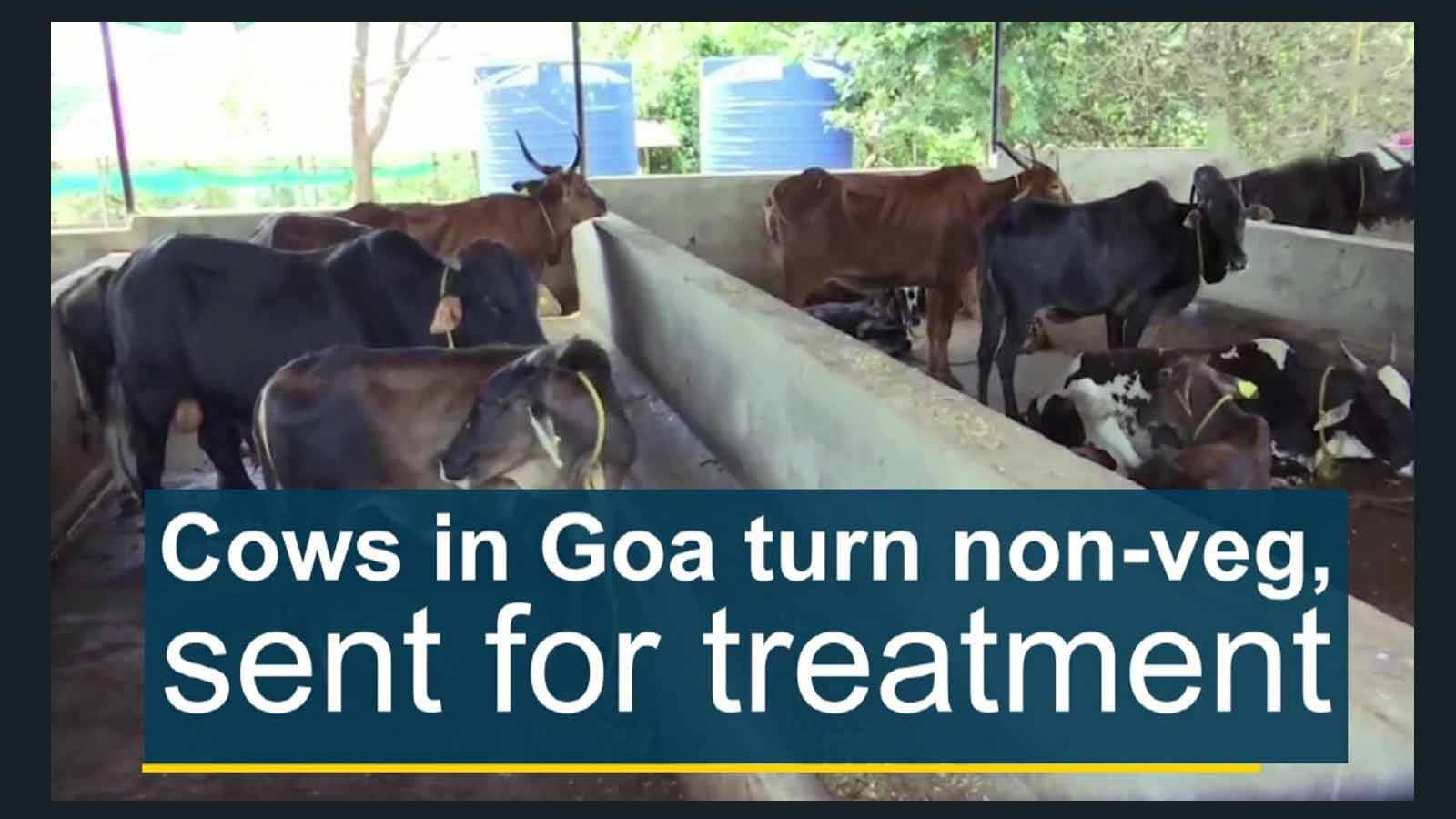 cows-in-goa-turn-non-veg-sent-for-treatment