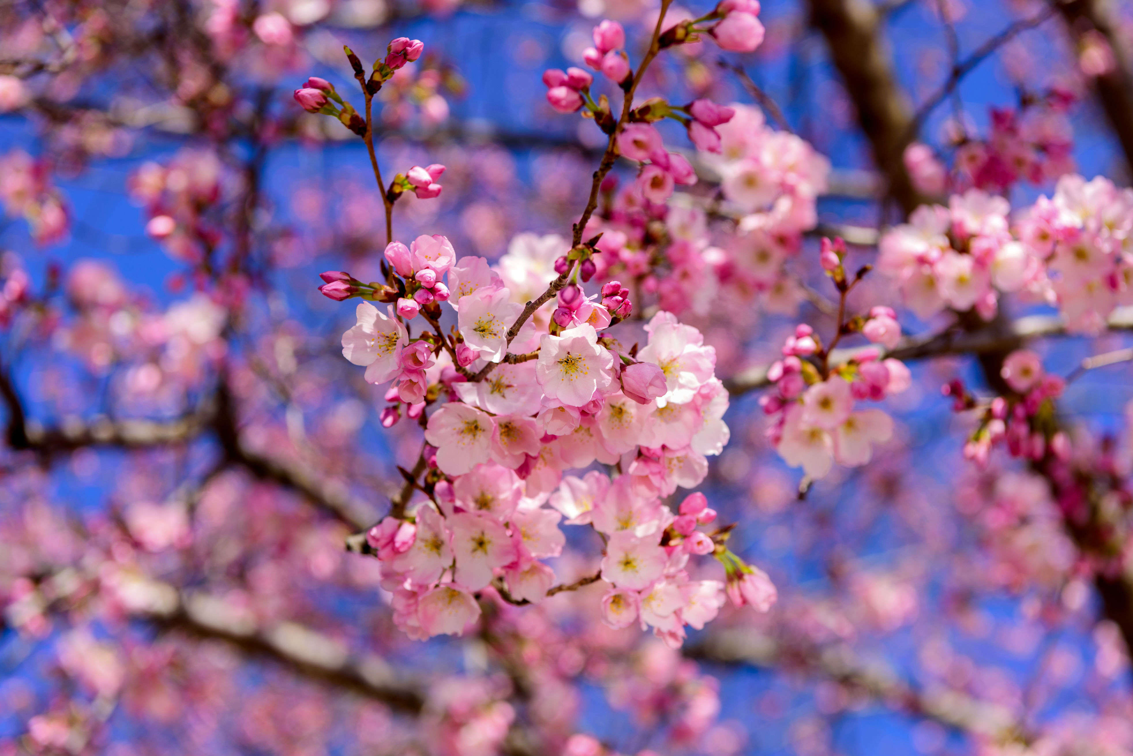 Celebrate Cherry Blossom Festival in Shillong this year