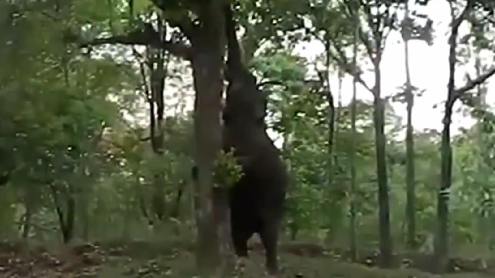 jumbo-effort-elephant-climbs-tree-for-jackfruit
