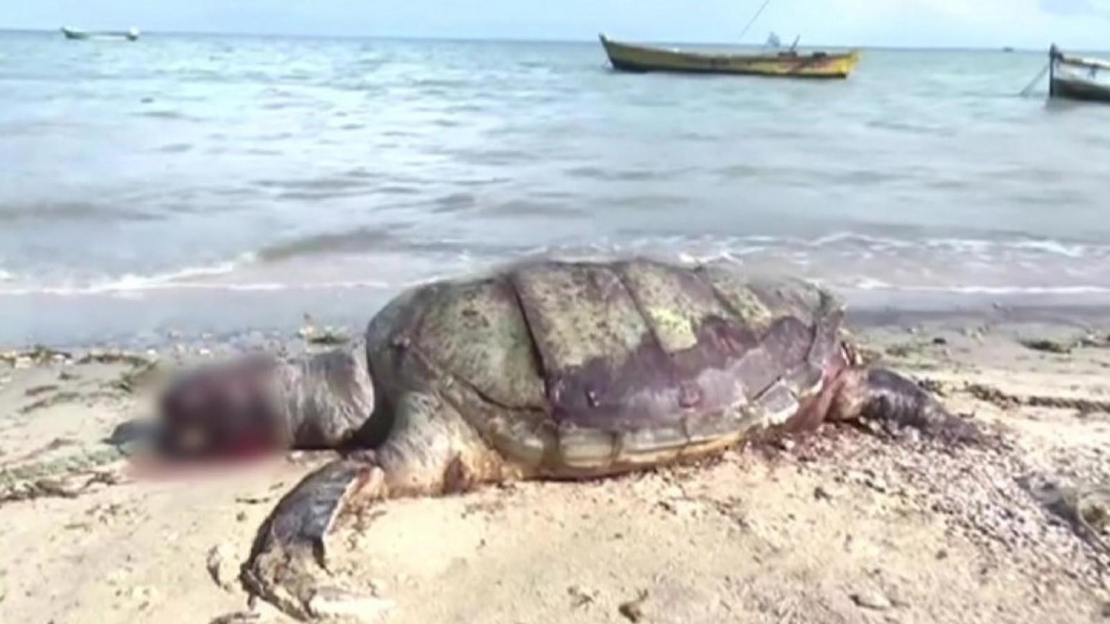 carcass-of-giant-olive-ridley-turtle-found-at-rameswaram-beach
