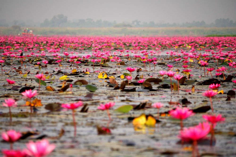 Exploring Pink Water Lilies Lake in Thailand, beautiful beyond words