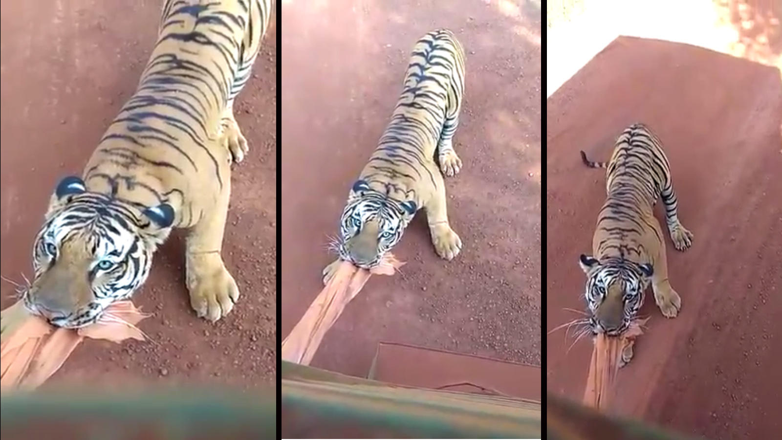 on-cam-tiger-comes-dangerously-close-to-a-tourist-bus