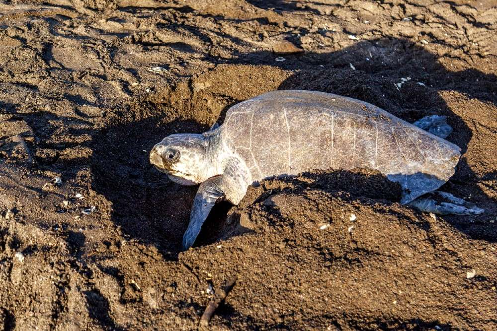 Lakhs of endangered Olive Riley turtles return to Odisha's coast for nesting as humans are locked inside