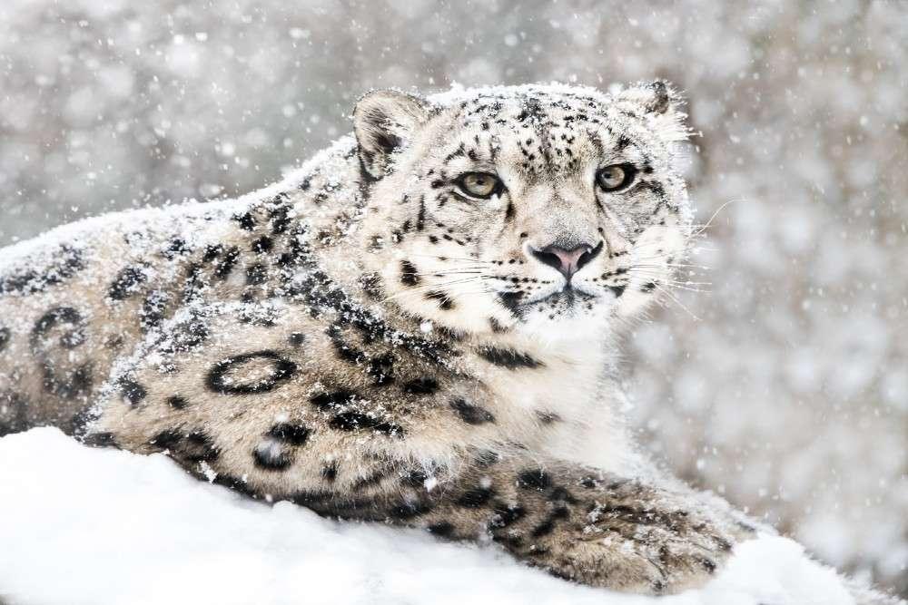 Four rare snow leopards spotted in Nanda Devi National Park in Uttarakhand