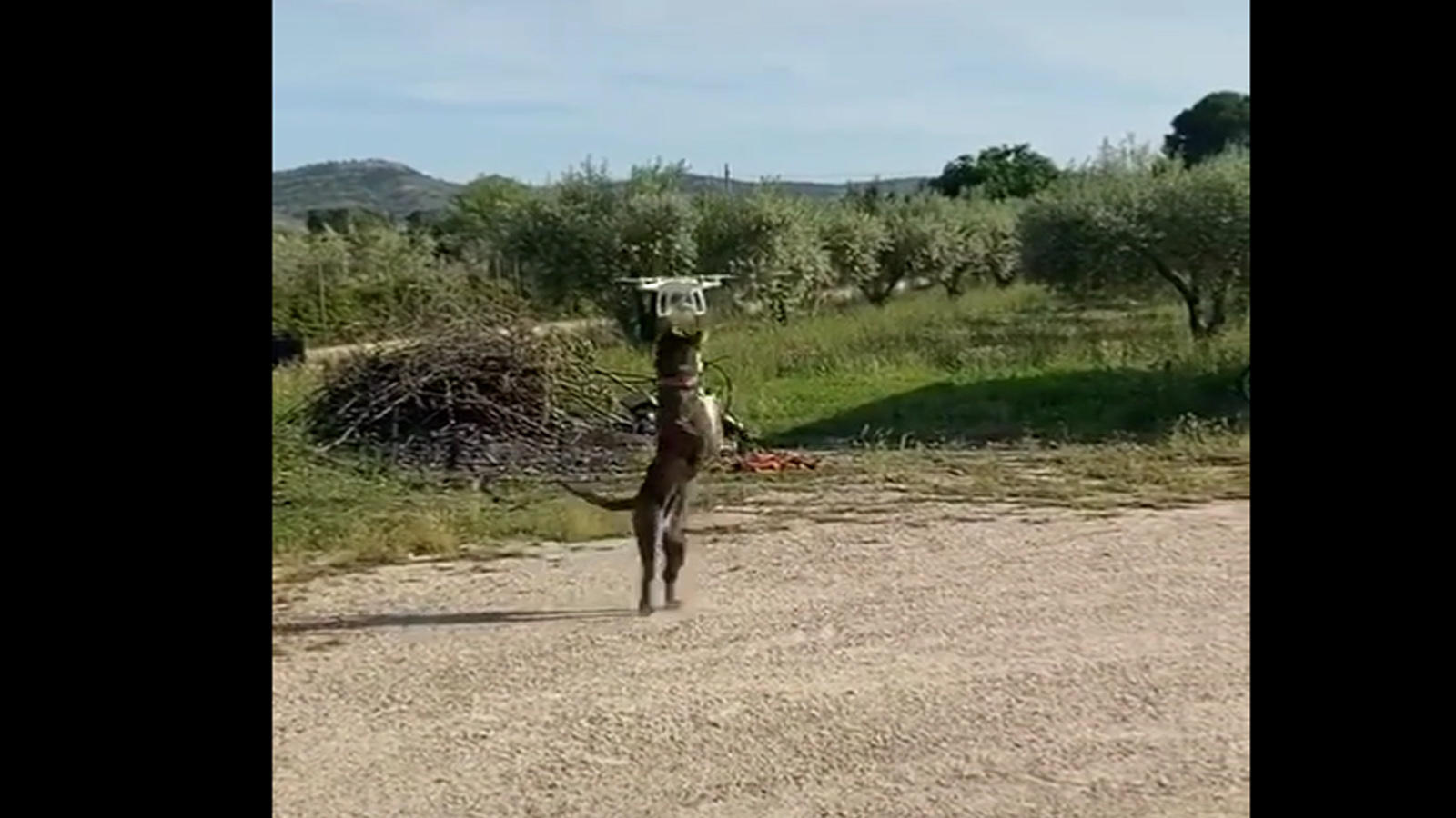 viral-video-dog-and-the-drone