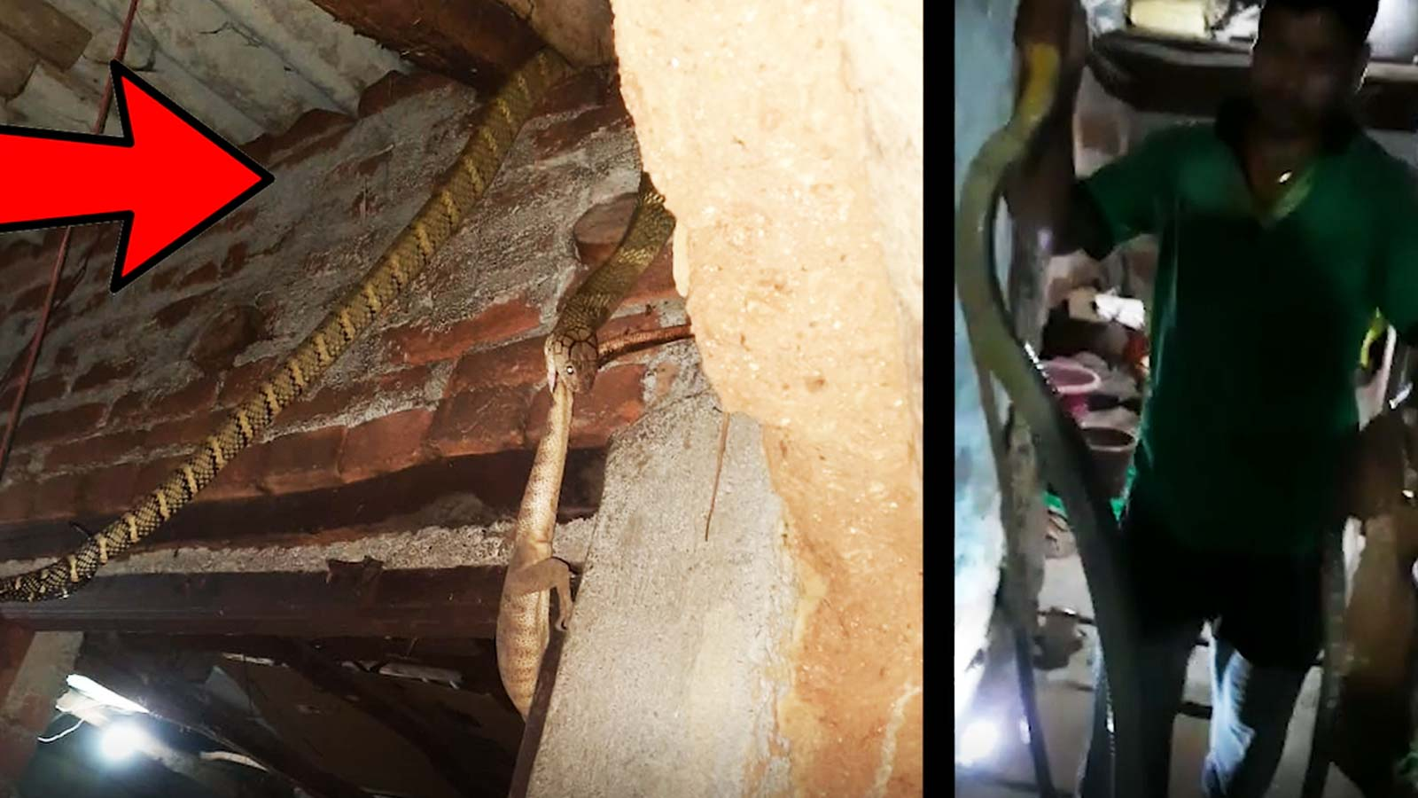 king-cobra-found-at-a-house-in-odisha-later-rescued