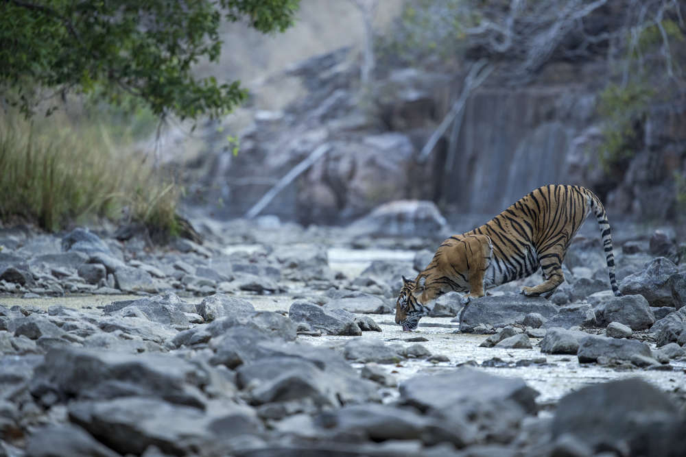 No refund, but tickets for visiting national parks can be reissued till June 2020: Rajasthan Forest Department