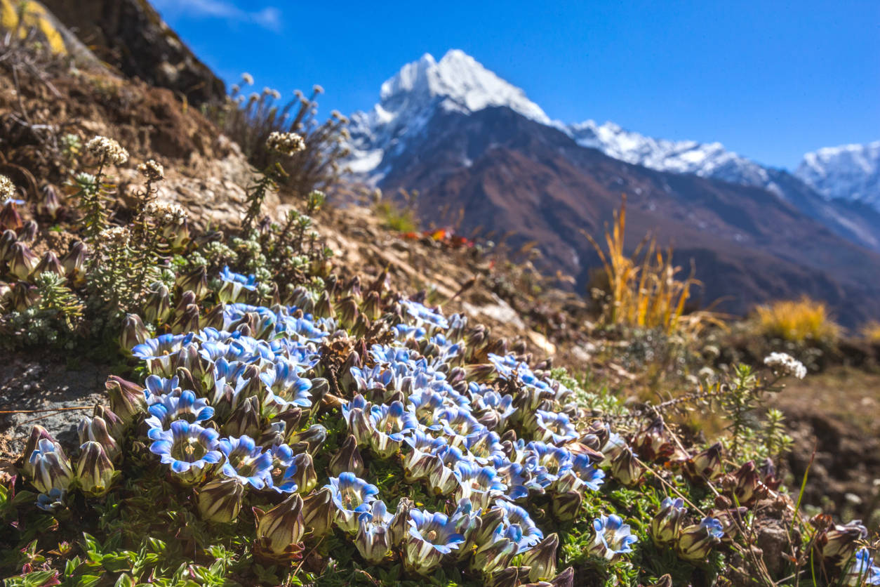 Spotting wildflowers in the Himalayas; our top five