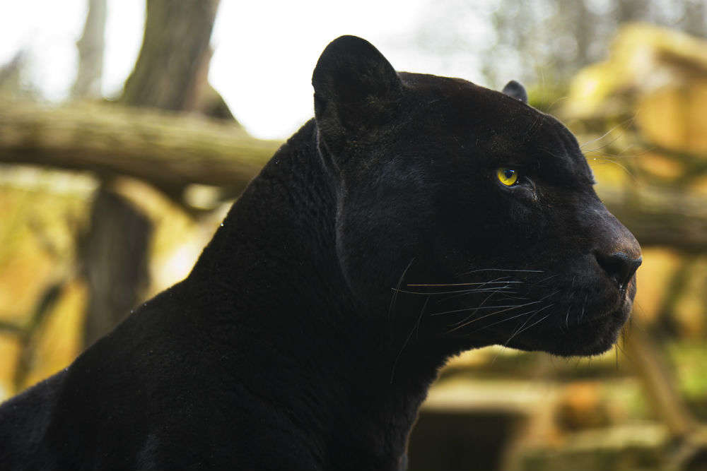 Rare black panther spotted in Karnataka's Kabini forest; pictures gone viral