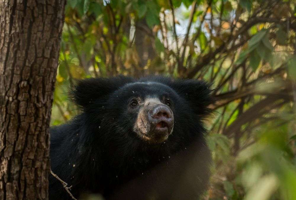 Into the Indian wild: Sloth bear spotted climbing a tree in Andhra Pradesh, and the pics are just too cute to miss!