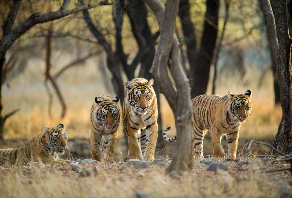 India's Tiger Census enters Guinness Book of World Records