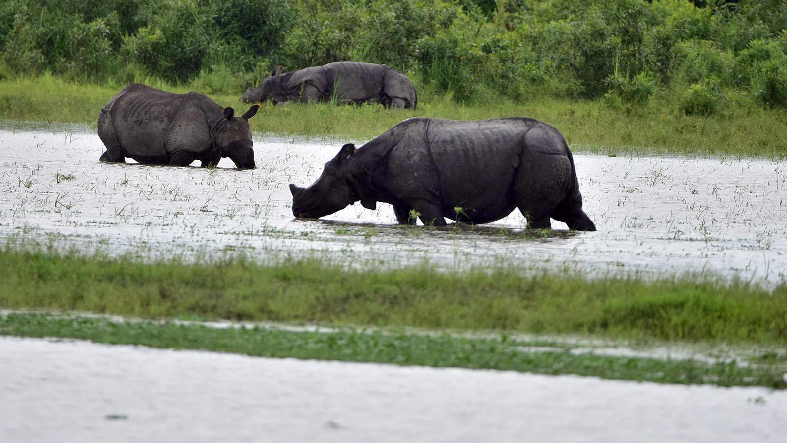 watch-wild-animals-wade-through-flood-water-in-kaziranga-national-park