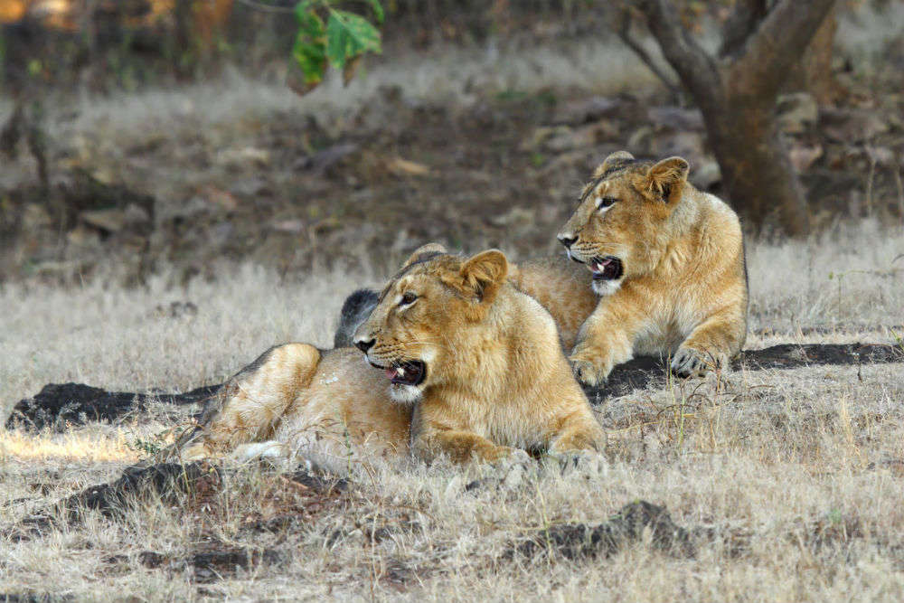 Tourism circuit involving beaches, lions, temples to be developed in Saurashtra
