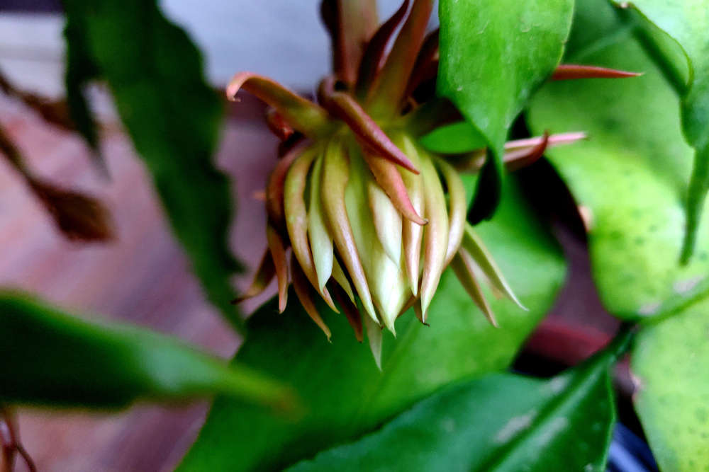 You are a lucky tourist if you see Brahma Kamal flower blooming in Uttarakhand