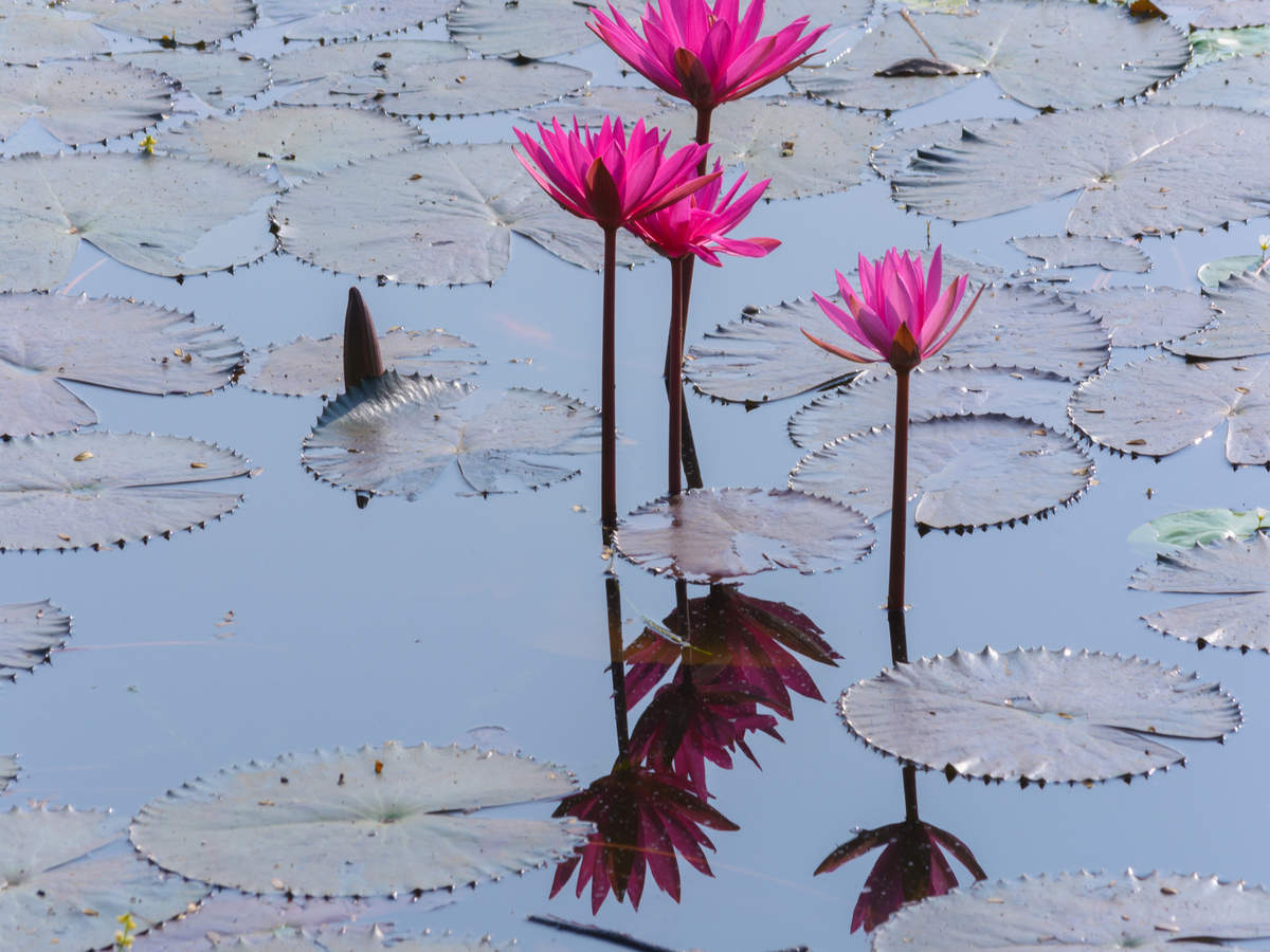 Kerala to host pink water lilies e-festival