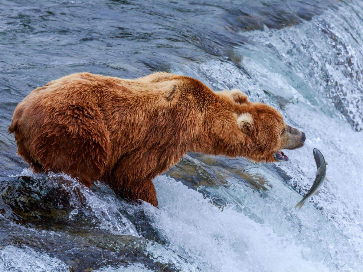 Fat Bear Week begins in Katmai National Park