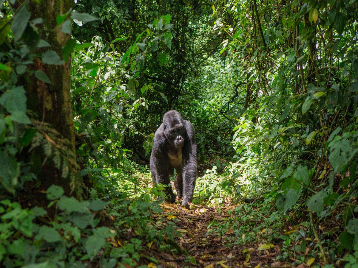 Social distancing from gorillas—Uganda to welcome tourists with some quirky, some serious guidelines