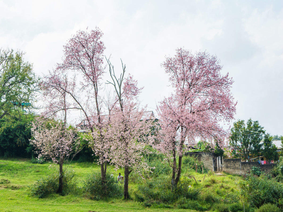 Shillong turns all shades of pink with cherry blossoms in full bloom