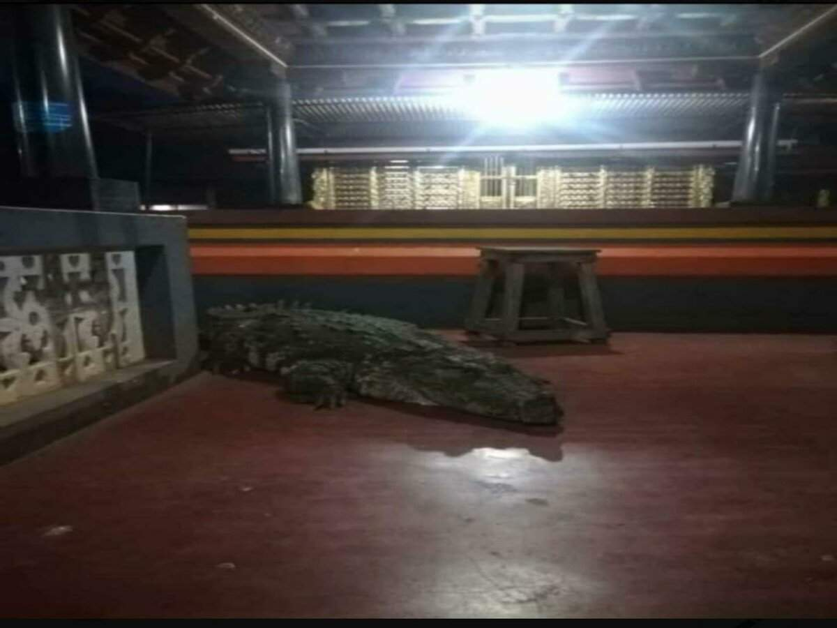 This vegetarian crocodile entered a temple premises and left on request!