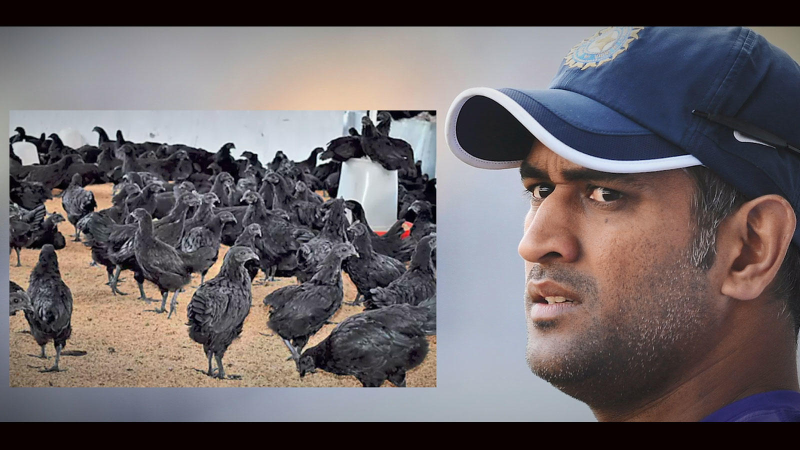 MS Dhoni set for organic poultry farming, orders 2000 black 'Kadaknath'  chickens | News - Times of India Videos