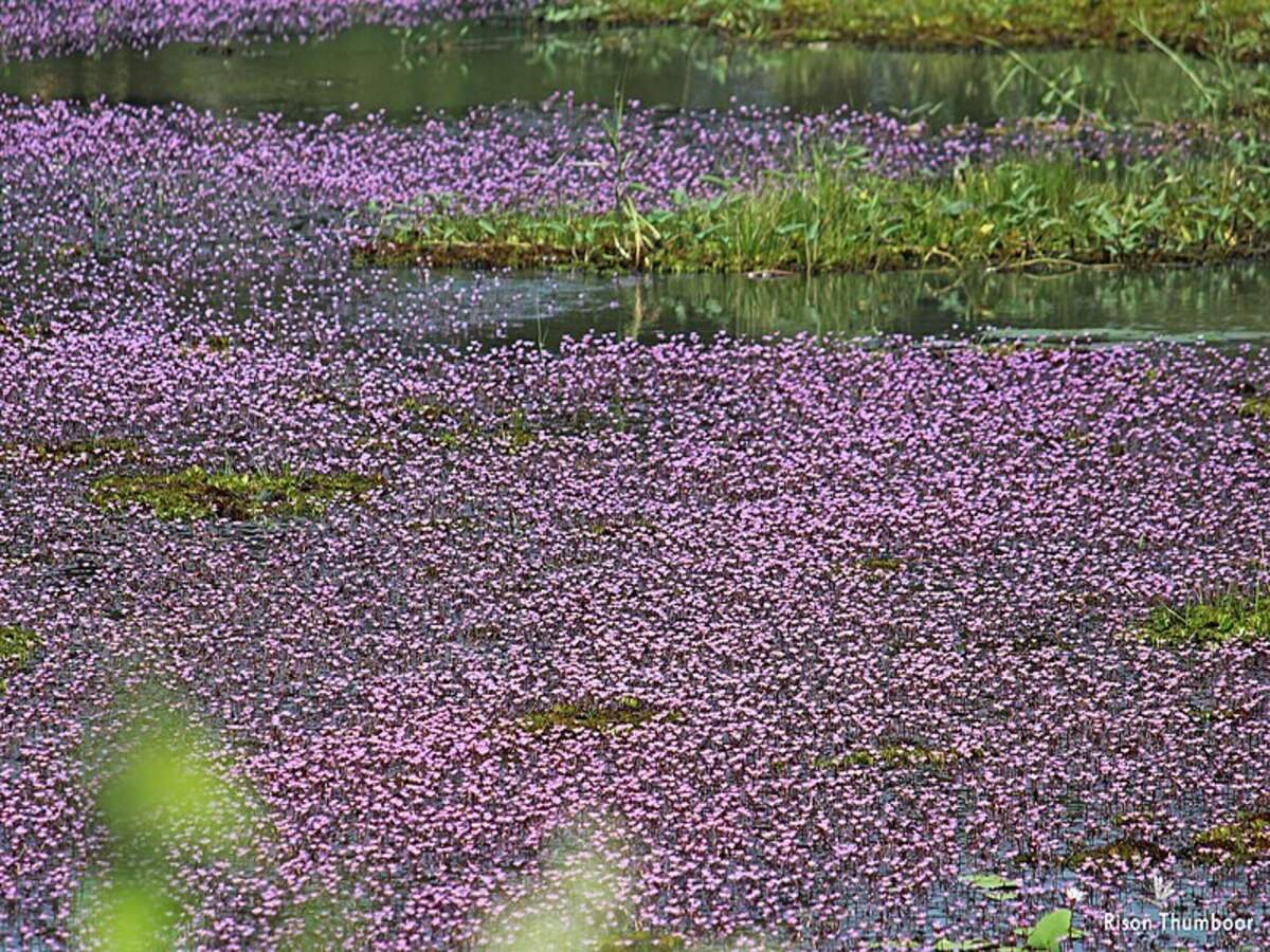 Pink aquatic plant turns Kozhikode's Avala Pandi village into a dreamland