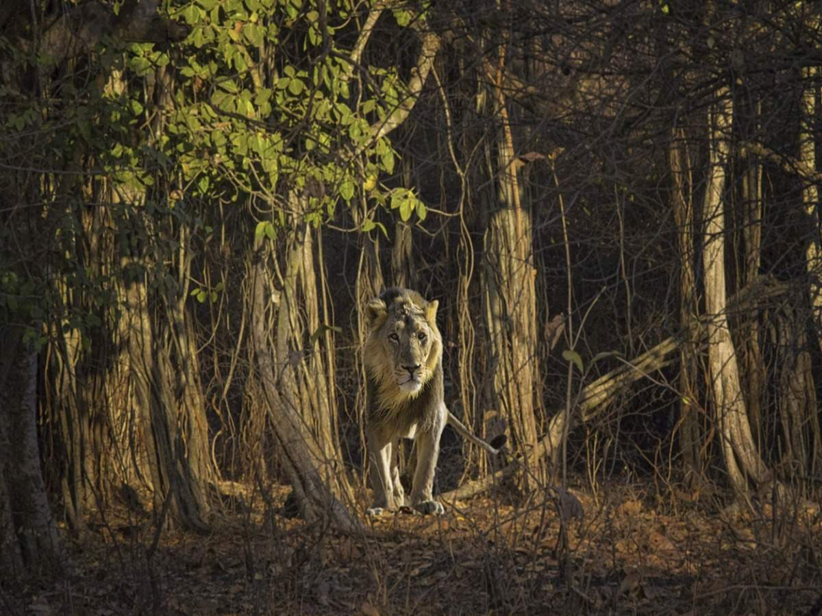 Wildlife spotting: Homes of Asiatic lions in India