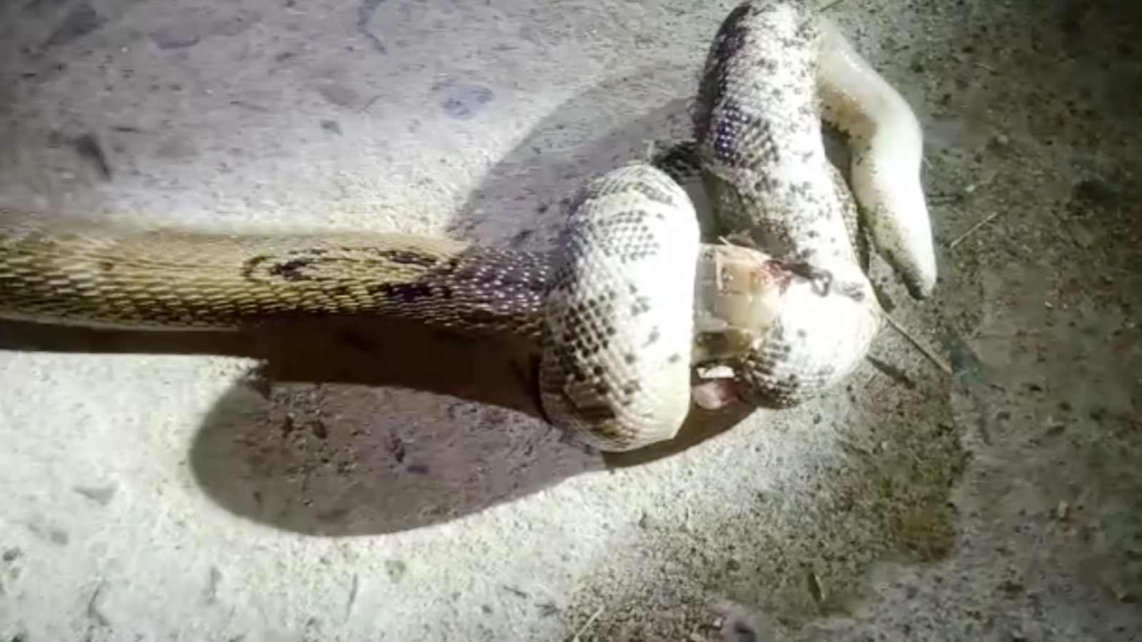 watch-fierce-fight-between-1-ft-long-sand-boa-and-4-ft-long-cobra