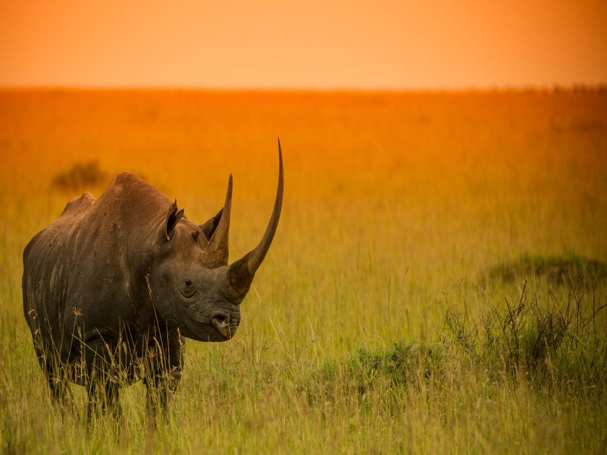 A wildlife bond that you can buy and save the black rhino species