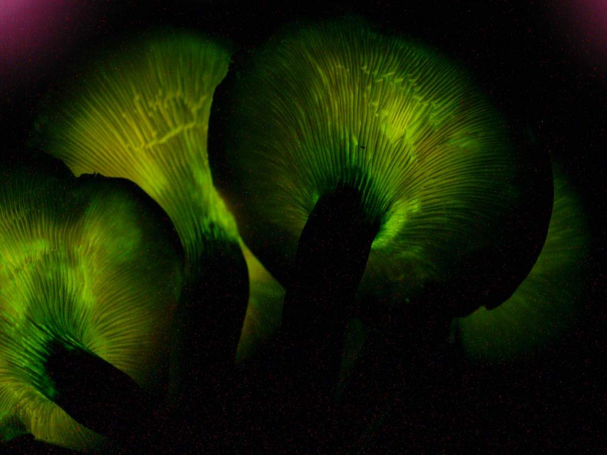 Rare exotic glowing mushrooms discovered in Meghalaya