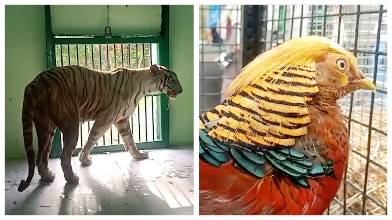 watch-white-tiger-gharial-and-exotic-birds-reach-indore-zoo