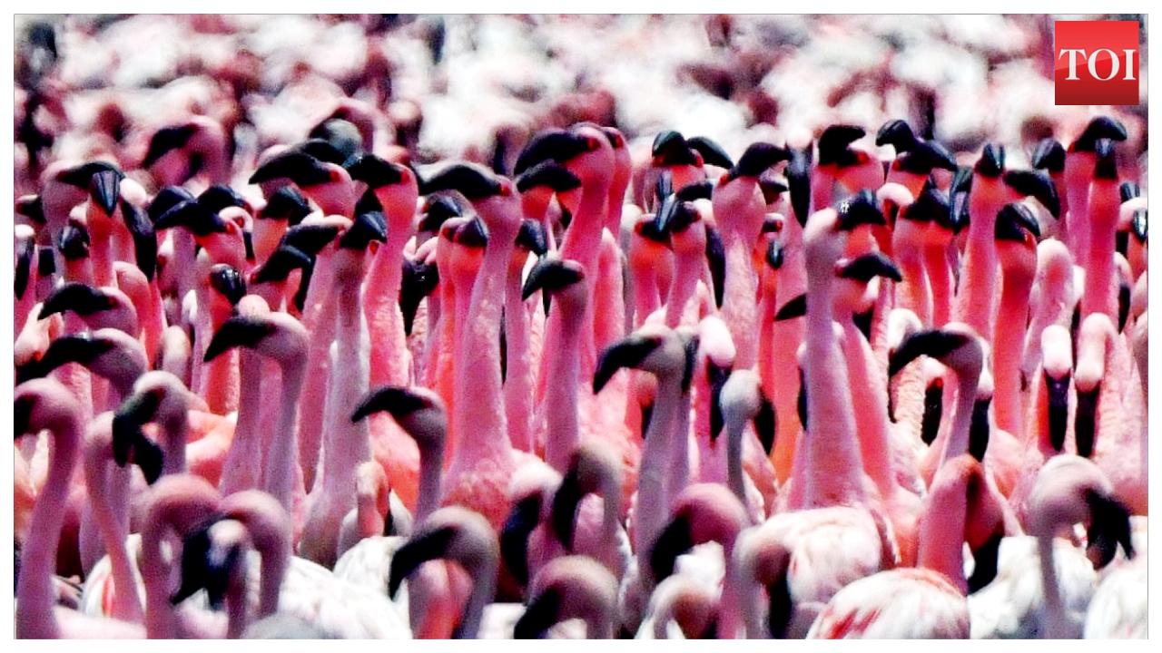 mumbai-flamingos-return-for-breeding-season