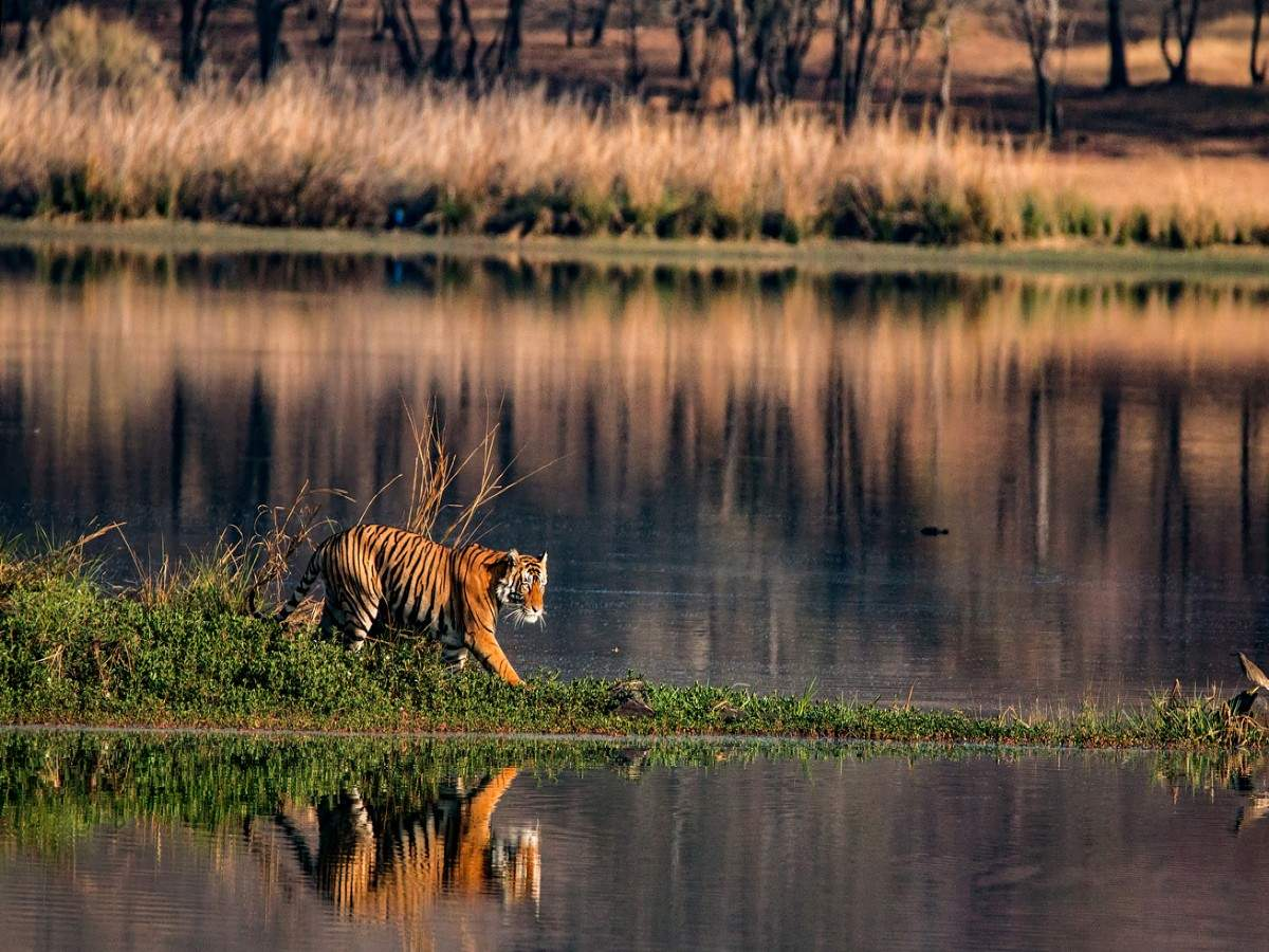 Madhya Pradesh: National parks and tiger reserves to reopen for a month