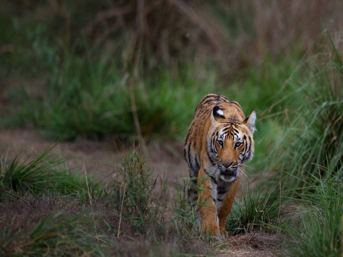 Tiger reserves in Madhya Pradesh to remain closed for 3 months