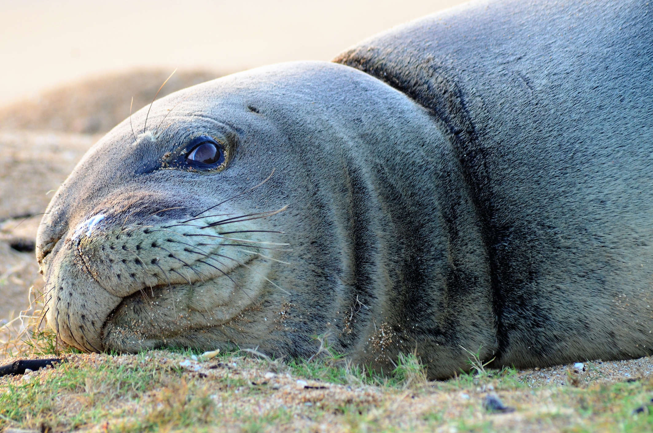 Couple faces heat after touching endangered Hawaiian monk seal