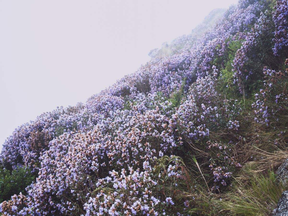 Neelakurinji flower blooms after 12 years in Kerala's Idukki; all that you need to know
