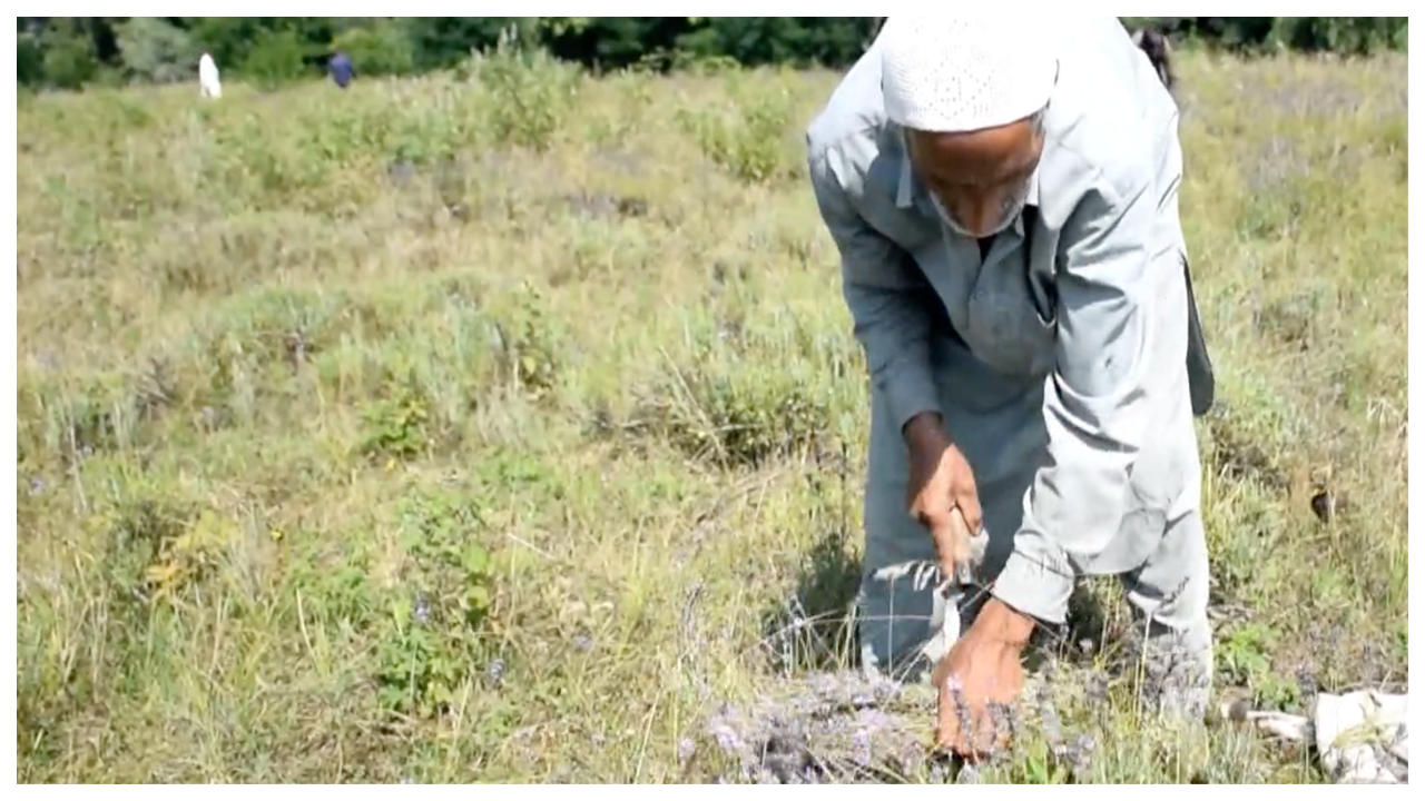 aromatic-plant-cultivation-offers-employment-opportunities-in-jk