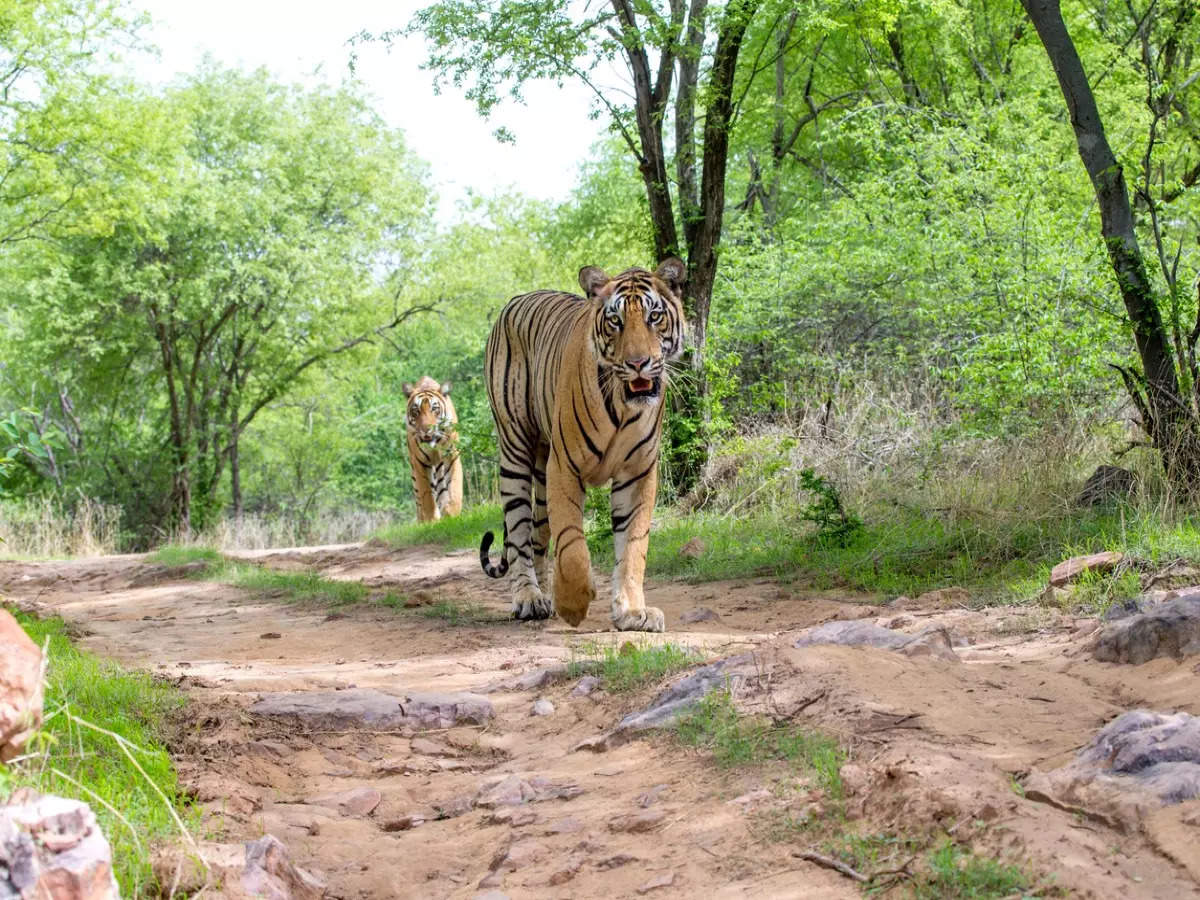 Global CA/TS recognises 14 Indian tiger reserves for good conservation