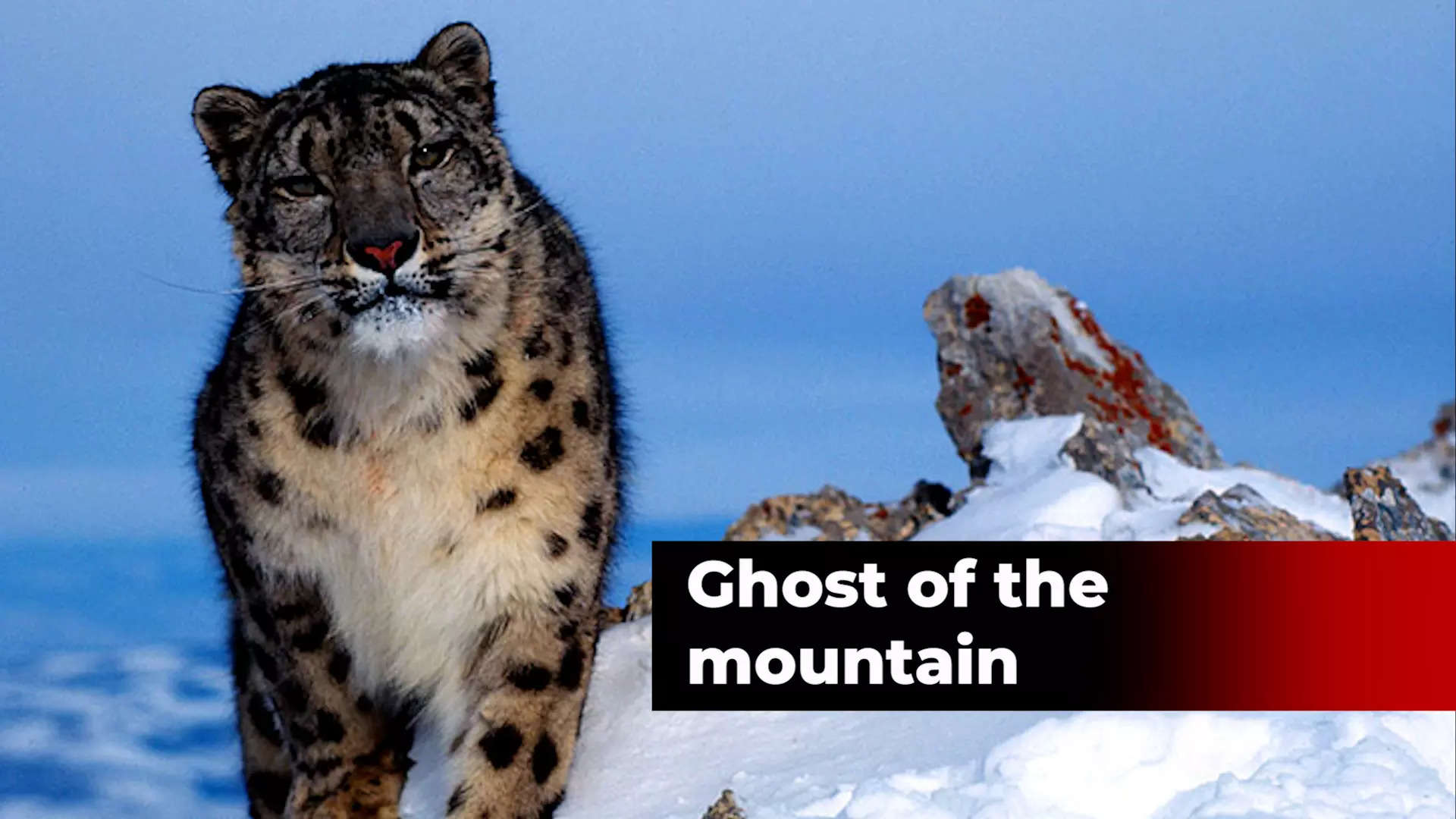 international-snow-leopard-day-why-the-apex-predator-of-the-trans-himalyans-is-important-for-our-future