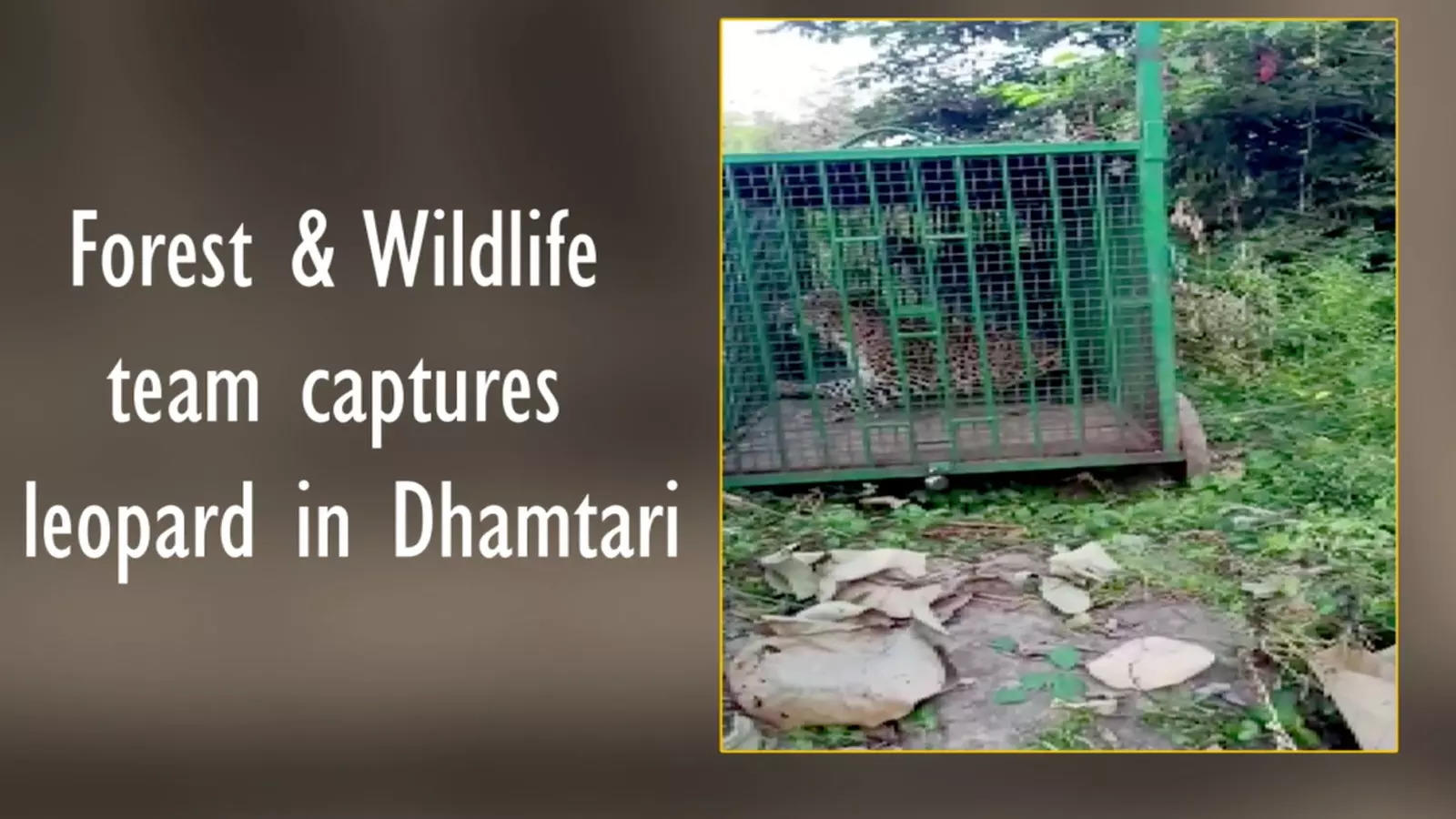 forest-and-wildlife-team-captures-leopard-in-dhamtari