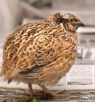 State government order makes rearing and selling quail legal