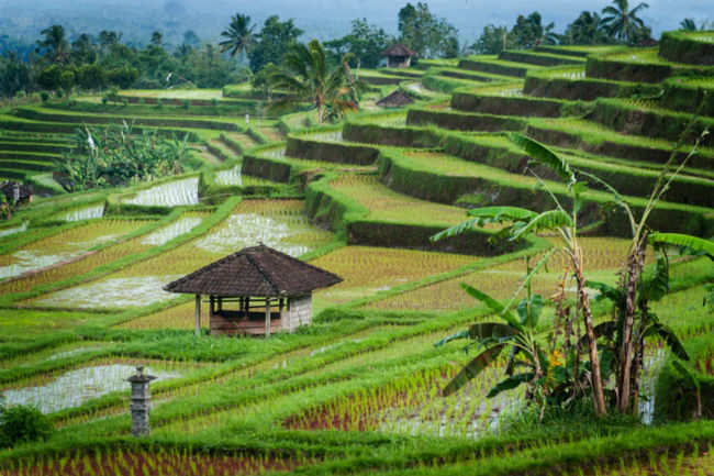 Jatiluwih Rice Terraces Bali Get The Detail Of Jatiluwih Rice