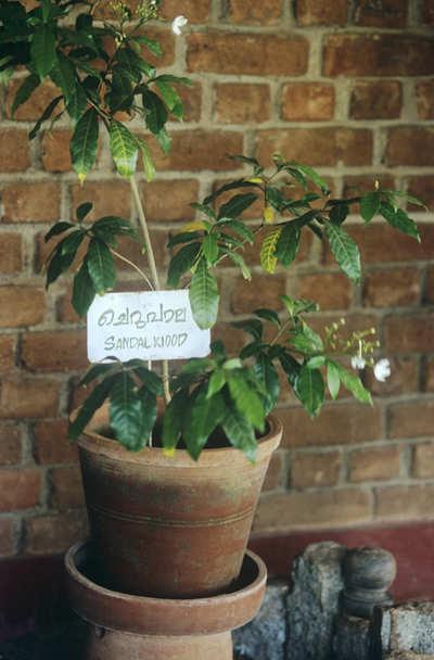 The greenskeeper: Grow sandalwood at home
