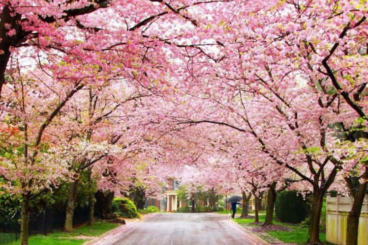 Cherry Blossom Festival In Shillong Shillong Tourist Places