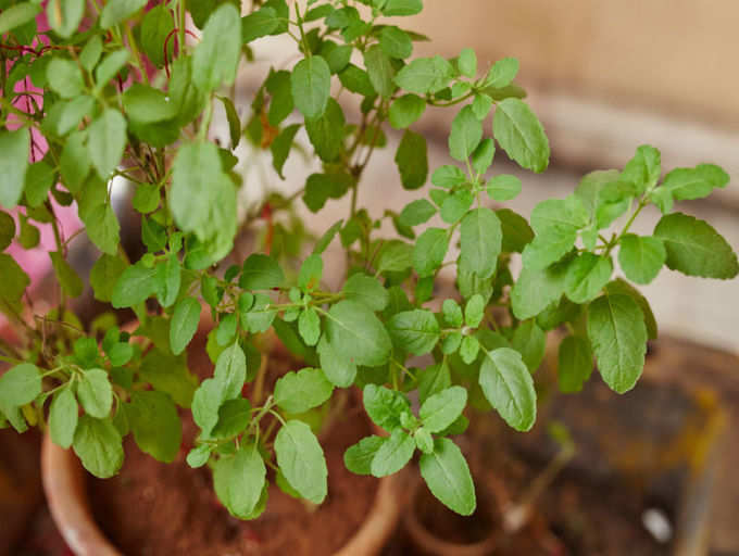 Eating Tulsi leaves can have these 5 side effects! | The Times of India