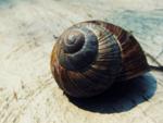 A living sea snail