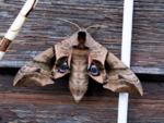 A full sized-moth