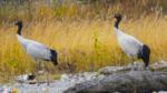Black-necked cranes sighted in Arunachal