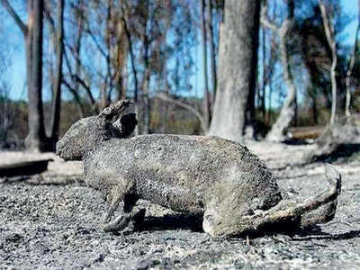 Forest fire: Fake News Buster: No animal death in Bandipur so far