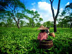 Assam Tea Health Benefits: What is Assam tea and what are